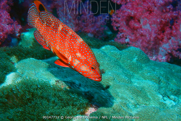 Coral hind fish on coral reef (Cephalopholis miniata) Andaman sea, Thailand  -  Georgette Douwma/ npl