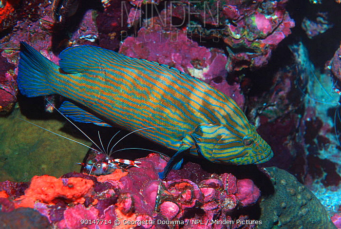 Bluelined hind (Cephalopholis formosa) Andaman sea, Thailand  -  Georgette Douwma/ npl