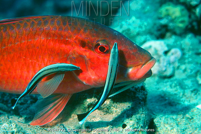 Cleaner wrasse (Labroides dimidiatus) cleaning Rosy goatfish (Parupeneus rugescens) Red Sea  -  Georgette Douwma/ npl