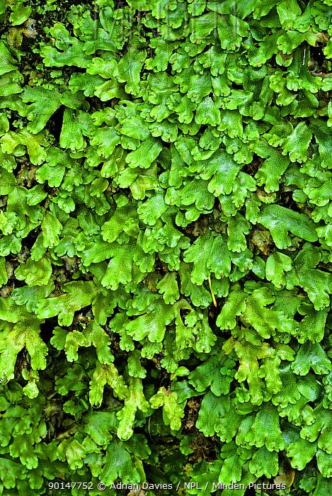 Great Scented Liverwort (Conocephalum conicum), UK  -  Adrian Davies/ npl