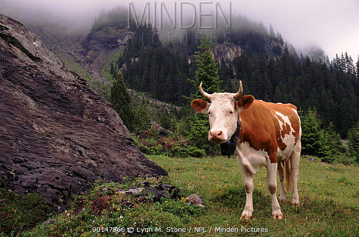 Simmental cow (Bos taurus) in mountains Switzerland, Europe  -  Lynn M. Stone/ npl