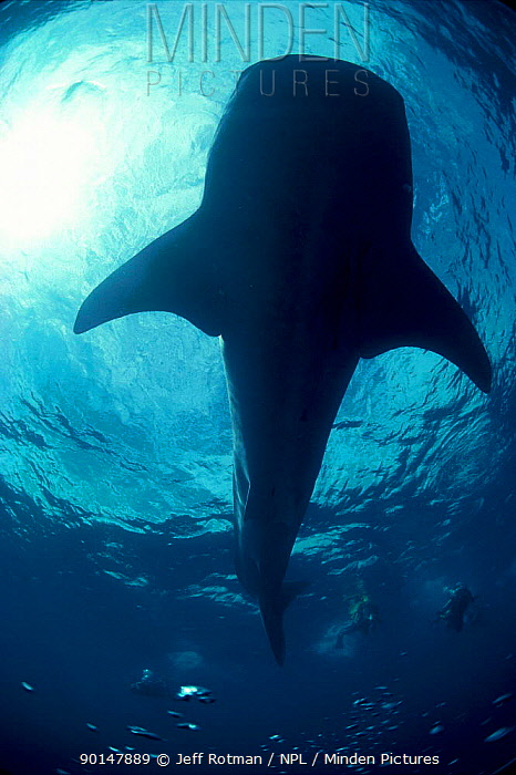 Looking up at Whale shark and divers from below (Rhincodon typus) Ningaloo Reef Western Australia  -  Jeff Rotman/ npl