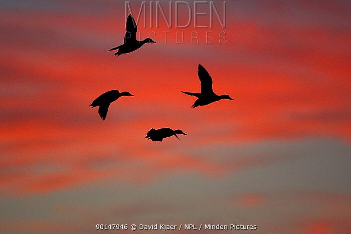 Four Mallards (Anas platyrhynchos) flying silouetted at sunset UK  -  David Kjaer/ npl