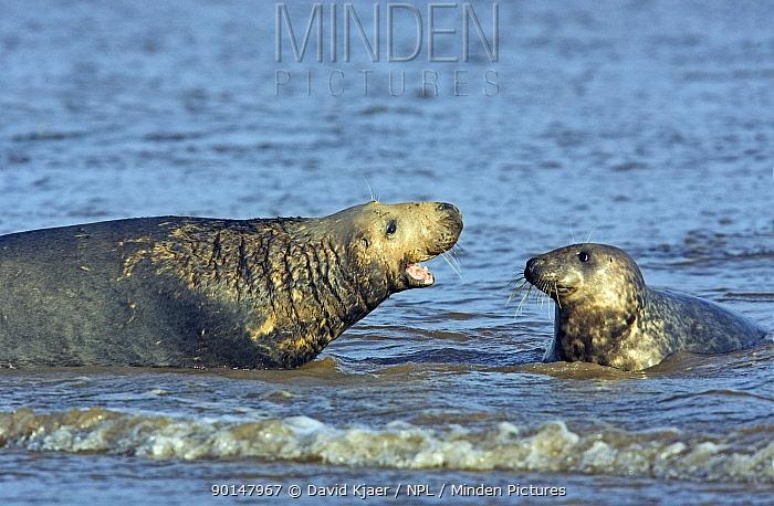 Grey Seal (Halichoerus grypus) male barking at female, Donna Knook, Lincolnshire, UK  -  David Kjaer/ npl