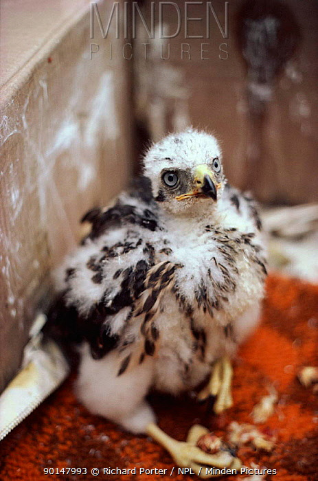 Confiscated goshawk nestling illegally collected from wild  -  Richard Porter/ npl
