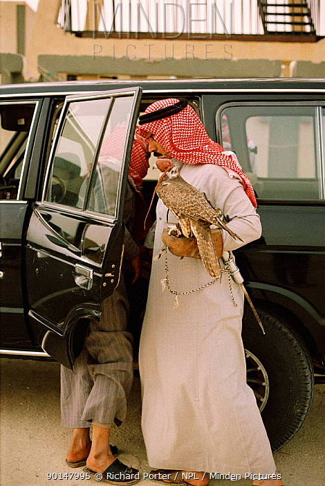 Arab falconer with his hooded bird, Saudi Arabia 1985  -  Richard Porter/ npl