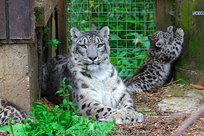 Snow leopard mother and cubs in cage (Panthera uncia) native to Himalayas Endangered species  -  T.J. Rich/ npl