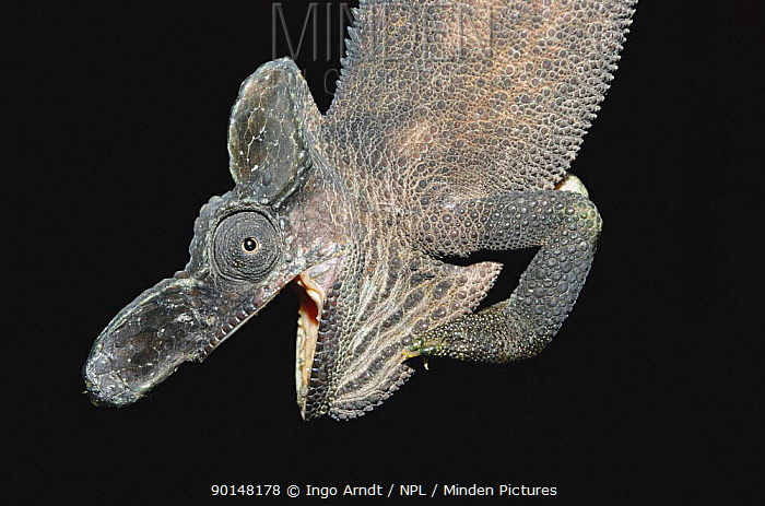 Horn Minden minden pictures stock photos single welded horn chameleon
