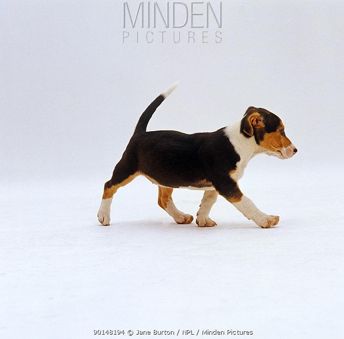Jack Russell Terrier x Collie puppy walking  -  Jane Burton/ npl