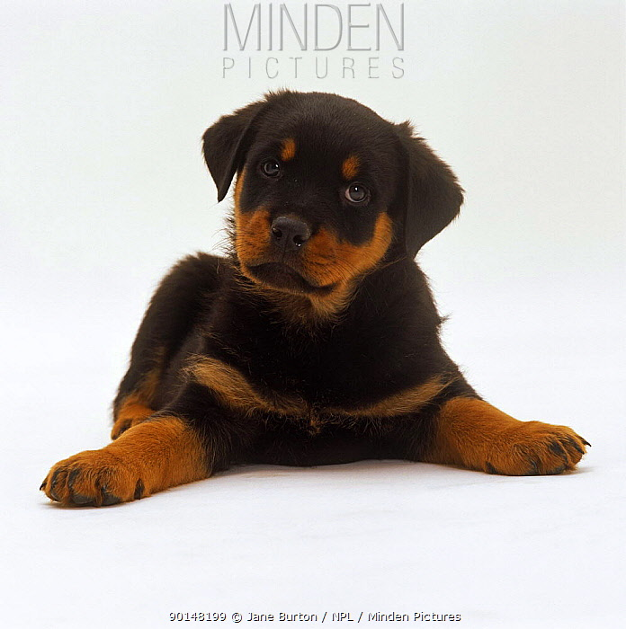 Rottweiler puppy, 7 weeks old, lying down with head up, paws spread  -  Jane Burton/ npl