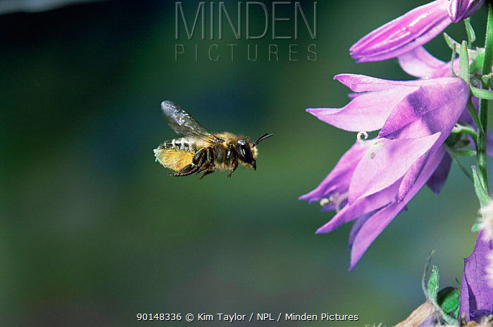 Leaf-cutting bee (Megachile sp) female visiting campanula flower to collect pollen and nectar UK  -  Kim Taylor/ npl