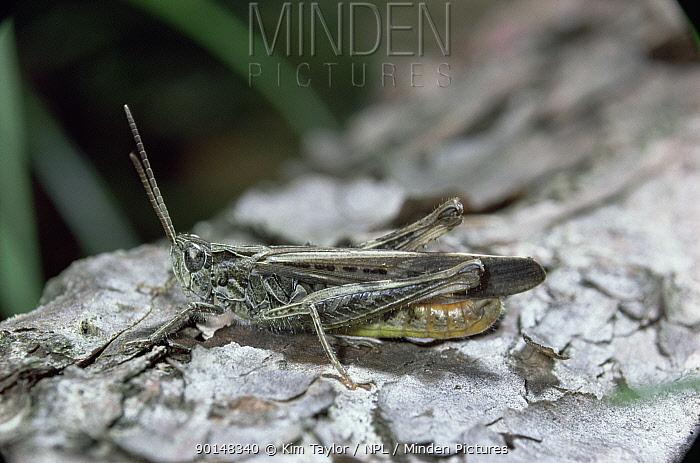 Common field grasshopper (Chorthippus brunneus) male sunbathing UK  -  Kim Taylor/ npl