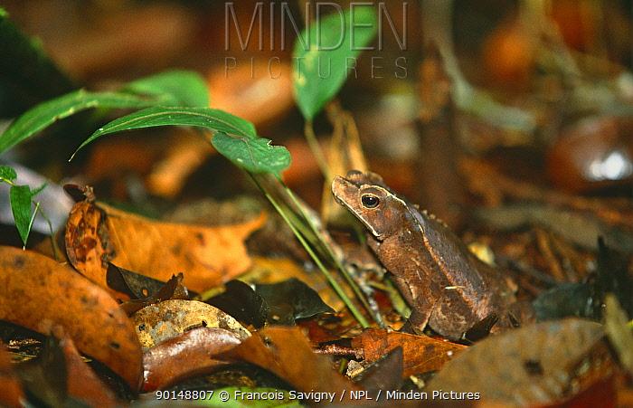 Toad (Bufo typhonius) camouflaged in rainforest leaf litter, Cuyabeno Reserve, Ecuador  -  Francois Savigny/ npl