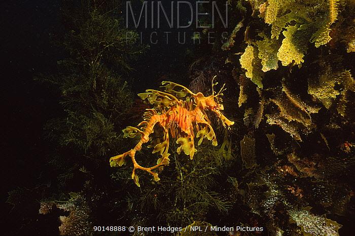 Leafy seadragon (Phycodurus eques) South Australia  -  Brent Hedges/ npl