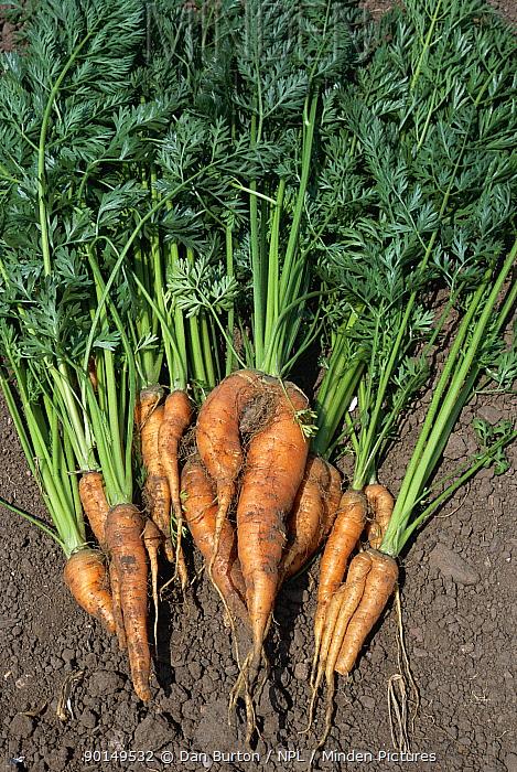 Carrots harvested from allotment garden, Devon, UK  -  Dan Burton/ npl