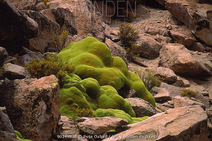 Patagonian cushion plant (Azorella compacta) Lauca NP, Chile  -  Pete Oxford/ npl