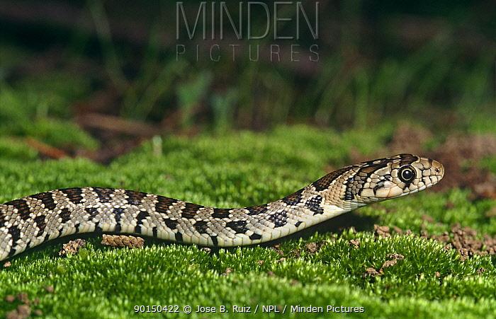 Horseshoe whip snake (Coluber hippocrepis) Spain  -  Jose B. Ruiz/ npl