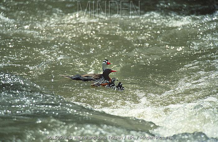 Torrent duck pair leading ducklings through river rapids(Merganetta armata turneri) Cuzco, Peru  -  Hanne & Jens Eriksen/ npl