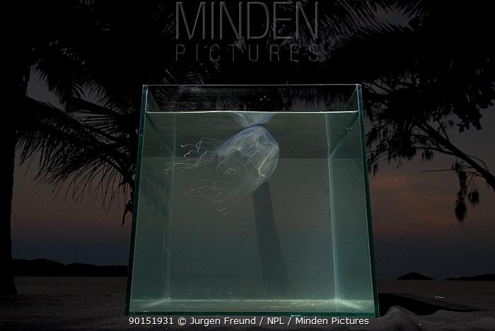 Box jellyfish (Chiropsalmus sp) in fishtank on beach with palmtrees in background, Queensland, Australia  -  Jurgen Freund/ npl