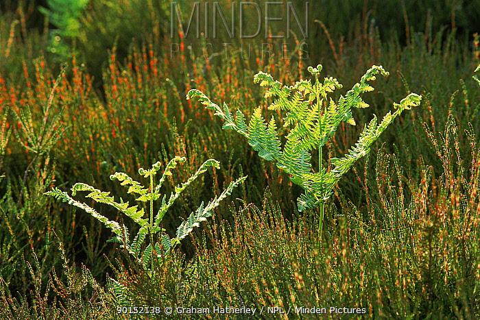 Bracken (Pteridium aquilinum) new growth Holt Heath, Dorset  -  Graham Hatherley/ npl