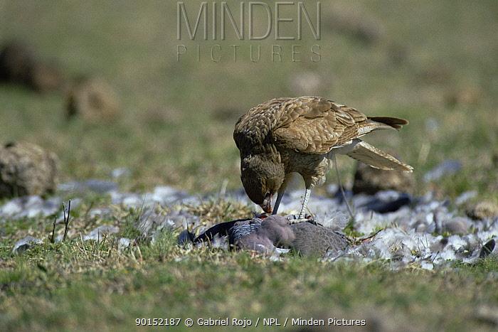 Chimango (Milvago chimango) feeding on dove prey, La Pampa, Argentina  -  Gabriel Rojo/ npl