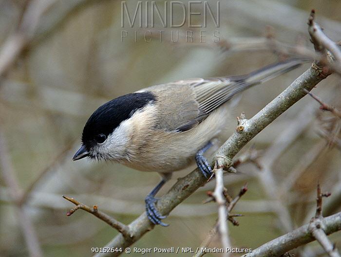 Marsh Tit (Parus palustris) territorial display, Northumberland, UK  -  Roger Powell/ npl