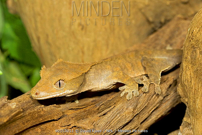 Minden Pictures Stock Photos Crested Gecko Rhacodactylus Ciliatus