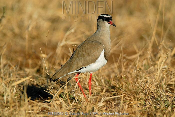 Crowned plover (Vanellus coronatus) Kruger NP, South Africa  -  Gabriel Rojo/ npl