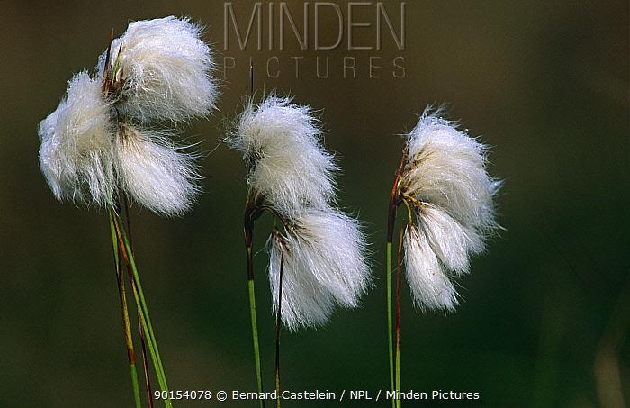 Common cotton grass (Eriophorum angustifolium) seed heads, Belgium  -  Bernard Castelein/ npl