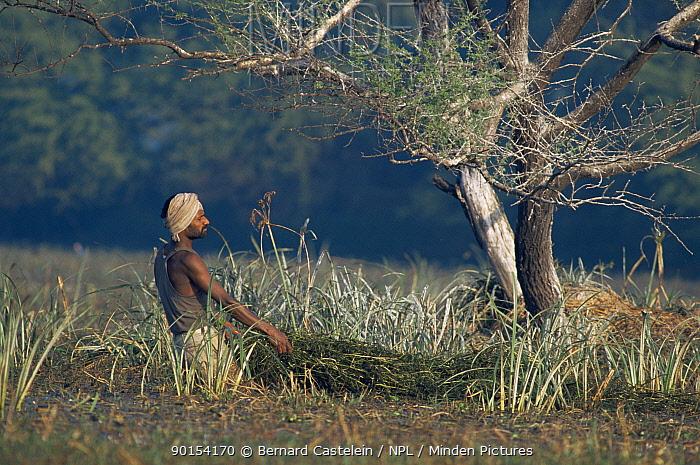 Man removing Water hyacinth (Eichhornia crassipes) as ongoing wetland land management, Keoladeo Ghana NP, Bharatpur, Rajasthan, India  -  Bernard Castelein/ npl