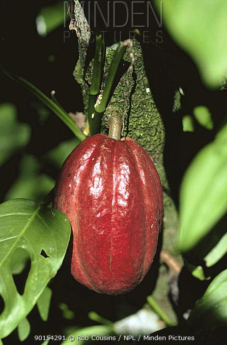 Cocoa pod growing on tree (Theobroma cacao)  -  Rob Cousins/ npl