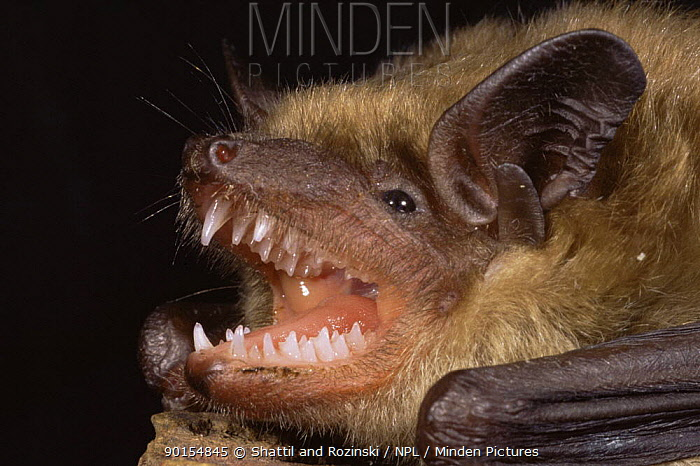 Little brown bat (Myotis lucifugus) close up of mouth showing teeth, USA  -  Shattil & Rozinski/ npl