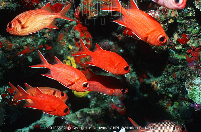 Red soldierfish (Myripristis murdjan) Maldives, Indian ocean  -  Georgette Douwma/ npl