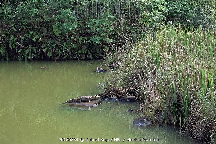 Broad nosed caiman basking (Caiman latrirostris) Iguazu NP, Brazil, Argentina  -  Gabriel Rojo/ npl