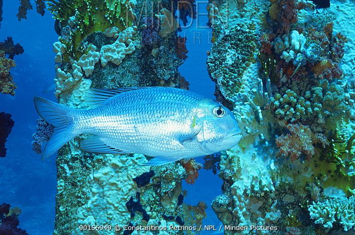 Bigeye emperor fish (Monotaxis grandoculis) on Ras Mohammed coral reef, Red Sea, Egypt  -  Constantinos Petrinos/ npl