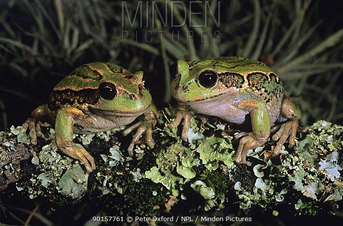 Two Riobamba marsupial frogs (Gastrotheca riobambae) captive, Quito, Ecuador, Endangered  -  Pete Oxford/ npl