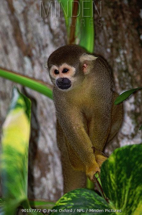 Common squirrel monkey (Saimiri sciureus sciureus) South America  -  Pete Oxford/ npl
