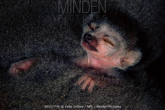 Crowned lemur baby (Eulemur coronatus) asleep Ankarana Special Reserve, Madagascar  -  Pete Oxford/ npl