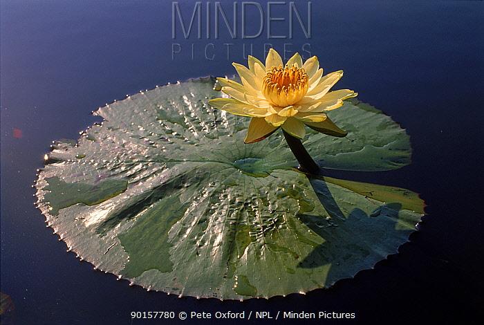 Egyptian lotus flower, Okavango Delta, Botswana  -  Pete Oxford/ npl
