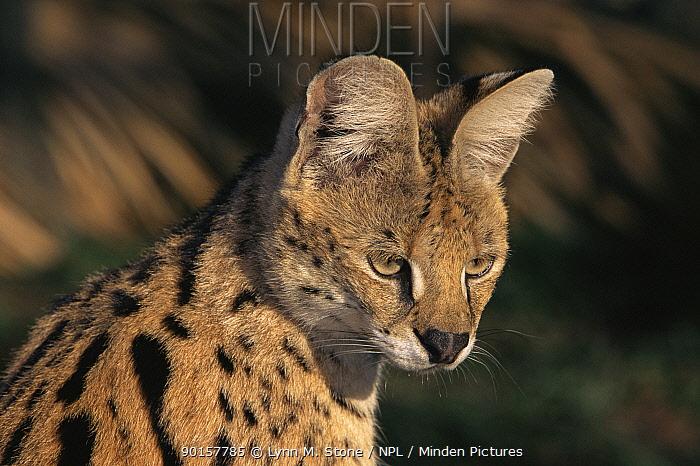 Serval portrait, captive (Felis serval)  -  Lynn M. Stone/ npl