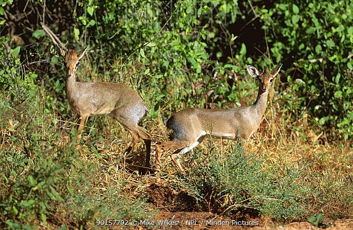 Pair of Kirk's dik dik (Madoqua kirki) Tanzania, East Africa  -  Mike Wilkes/ npl