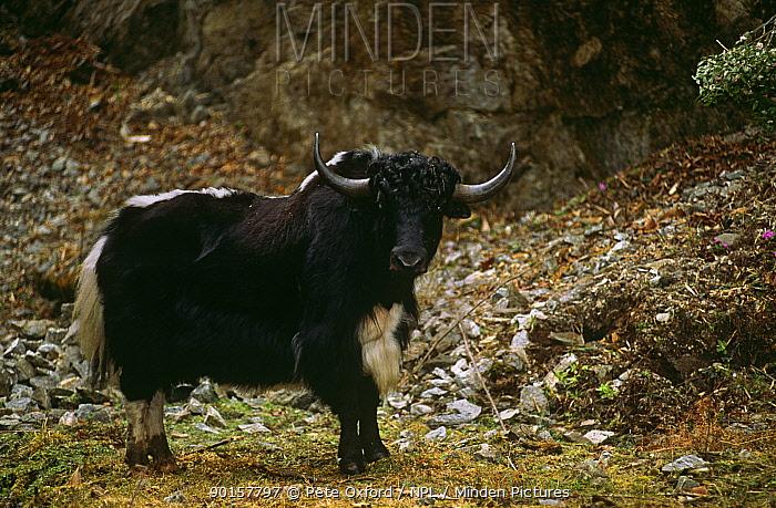 Domestic yak (Bos grunniens) Bhutan  -  Pete Oxford/ npl