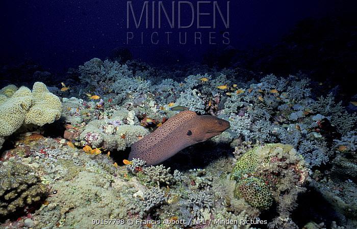 Giant moray eel (Gymnothorax javanicus) Red Sea  -  Francis Abbott/ npl