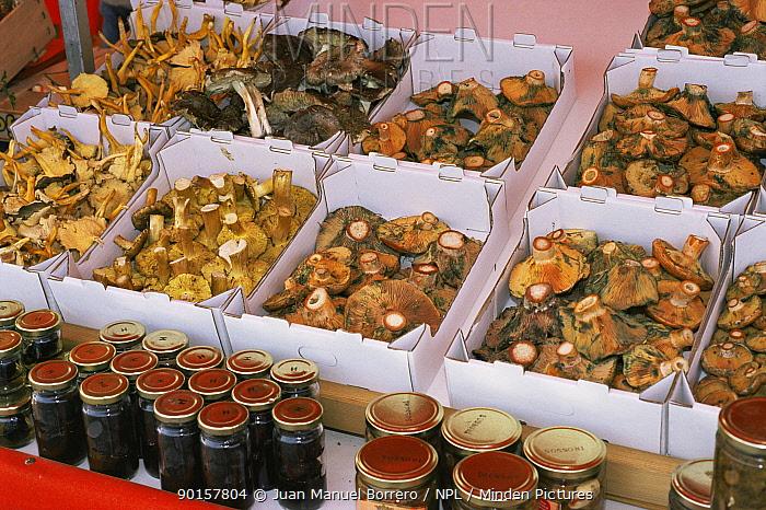 Mushrooms for sale in market, Catalonia, Spain Lactarius deliciosus and other species  -  Juan Manuel Borrero/ npl