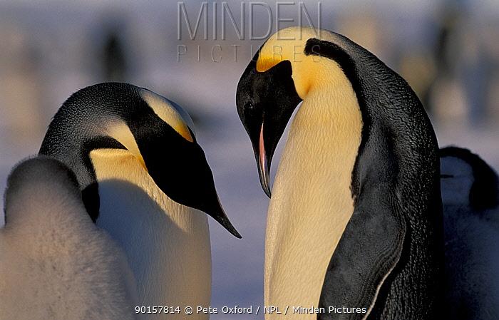 Emperor penguins courtship (Aptenodytes forsteri) Antarctica Auster EP Rookery  -  Pete Oxford/ npl