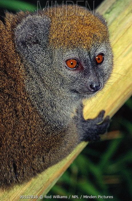 Female Alaotran gentle lemur (Hapalemur griseus alaotrensis) Madagascar Critically endangered species  -  Rod Williams/ npl
