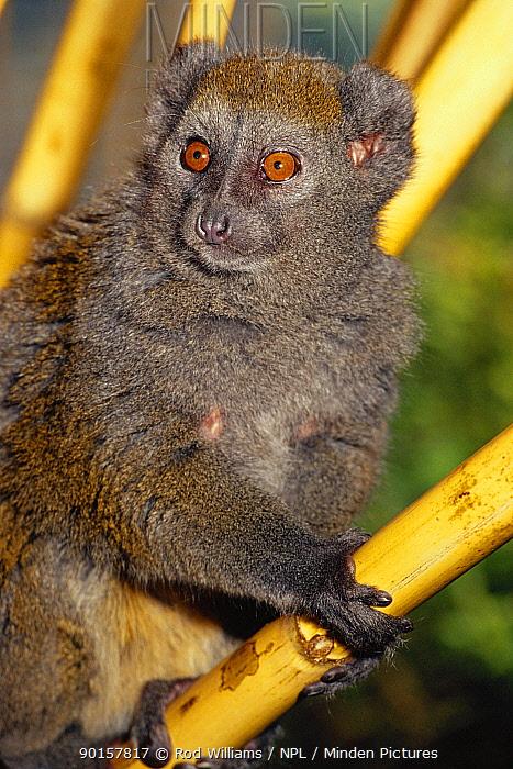 Male Alaotran gentle lemur (Hapalemur griseus alaotrensis) from Lake Alaotran, Madagascar Critically endangered species  -  Rod Williams/ npl