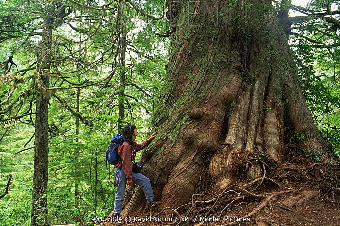 Woman standing next to Giant cedar tree, Meares Island, Clayoquot Sound, Vancouver Island, British Columbia, Canada  -  David Noton/ npl