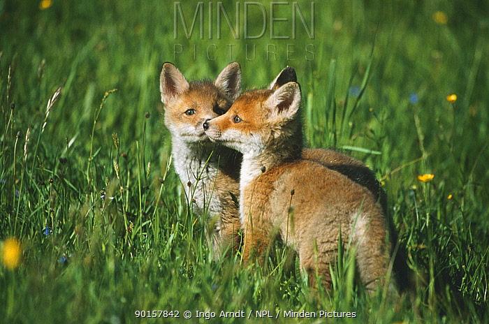 Red fox cubs (Vulpes vulpes) Austria  -  Ingo Arndt/ npl