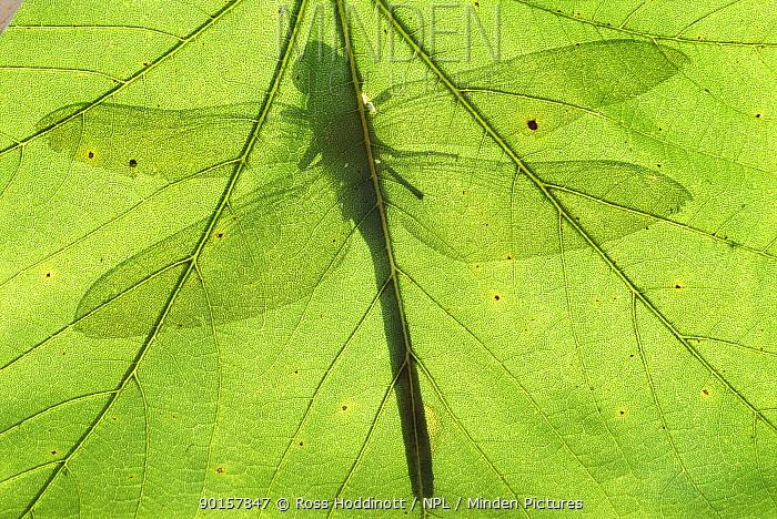 Emperor dragonfly (Anax imperator) silhouette seen through leaf Cornwall, UK  -  Ross Hoddinott/ npl